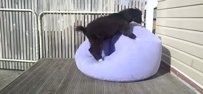 An adorable goat tried to get comfortable in an inflatable chair, and inspired the Internet.