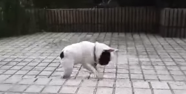 French Bulldog puppy frolics in the rain and chases droplets. Hope you're enjoying Labor Day weekend.