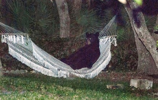 Here's a bear lounging in a hammock.