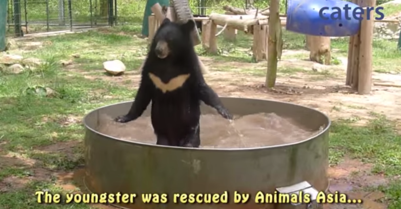 Black bear with a white batman logo on his chest is rescued from a horrible fate...so he can play in a kiddie pool.