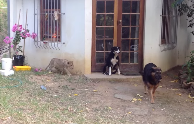A lion cub sneaks up on an unsuspecting dog and scares the crap out of him. Figuratively.
