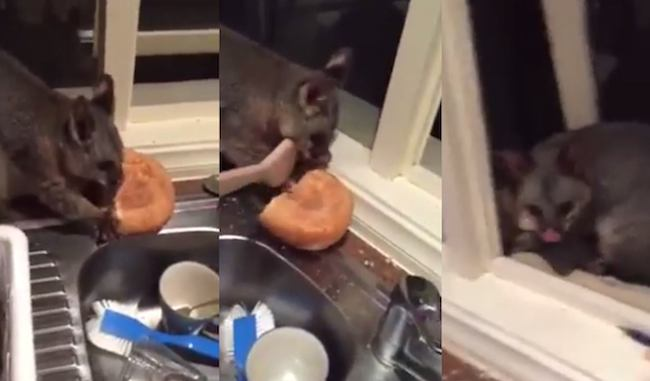 A possum invaded this guy's house to steal some bread, then decided to stick around.