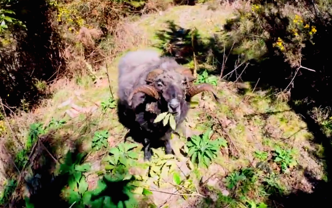 An angry ram knocked an annoying drone out of the sky, then took out its owner for good measure.