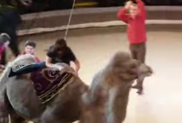 This woman's ride on a circus camel took an embarrassingly funny turn.