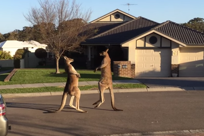 Two kangaroos go at it like drunken bros in the middle of a suburban neighborhood.