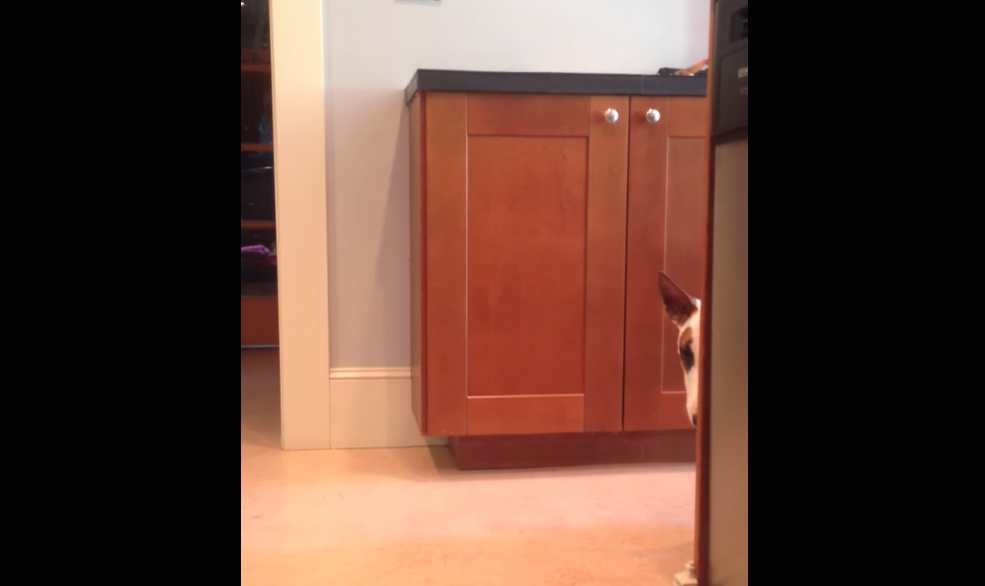 Very shy dog makes a very dramatic entrance in his Jurassic Park costume.