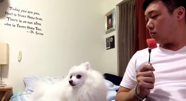Pomeranian does a really bad job pretending not to gaze longingly at his owner's food.