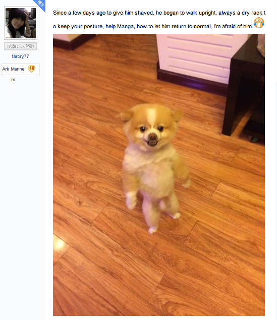 Pomeranian walks around on hind legs for two days in protest of bad haircut.
