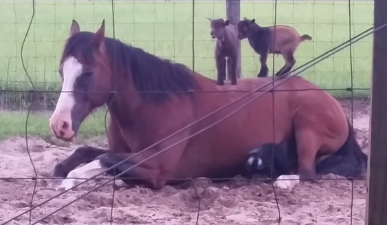 Tiny little baby goats climb all over an incredibly patient adult horse.
