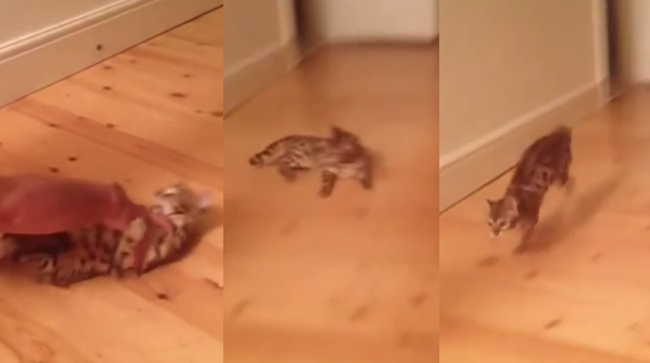 This guy taught his cat how to play the best game of fetch ever.