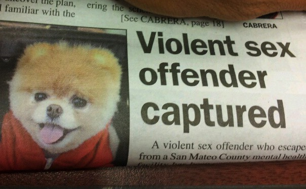 Unfortunate newspaper layout highlights capture of world's most adorable sex offender.