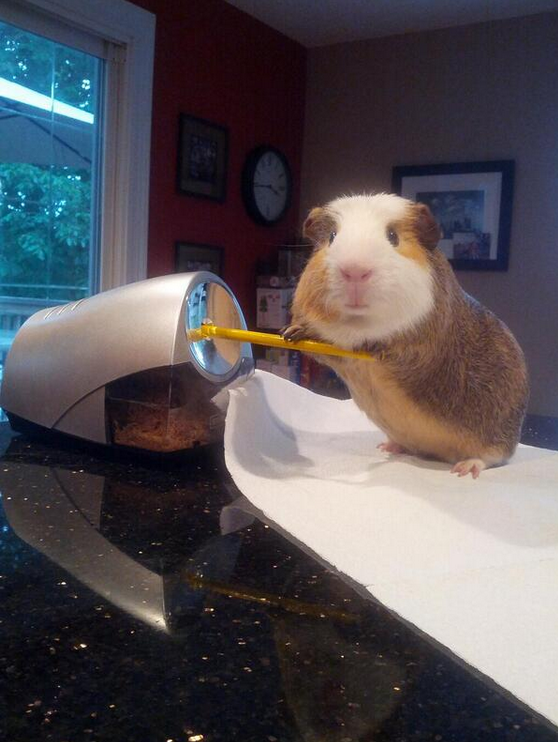 """Stuff My Guinea Pig Does"" documents an adorable rodent getting way more done in a day than you ever have."