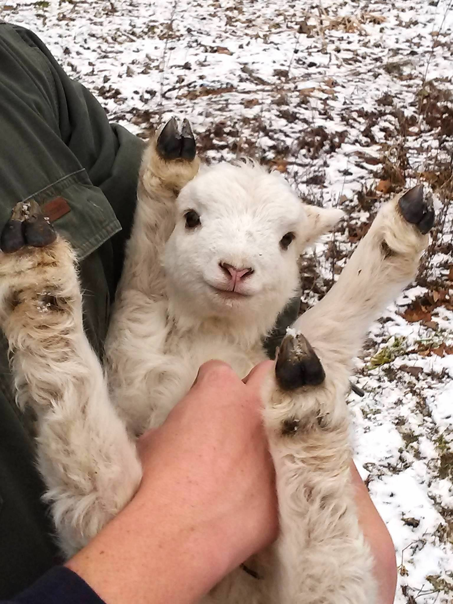 Someone picked up a baby lamb and it did the cutest thing ever.
