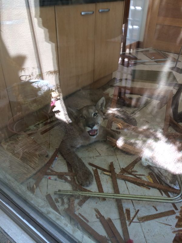 What it looks like when a cougar breaks into your house.