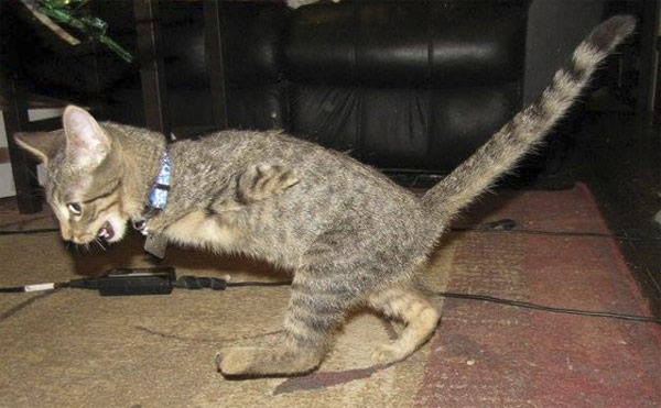 This two-legged cat walks like an adorable little T-rex.