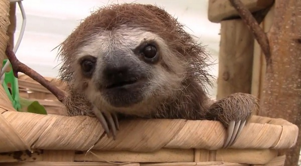 Sloths don't just sit around all day. Sometimes they squeak. Here's proof.