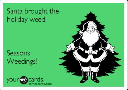 Santa brought the holiday weed!    Seasons Weedings!