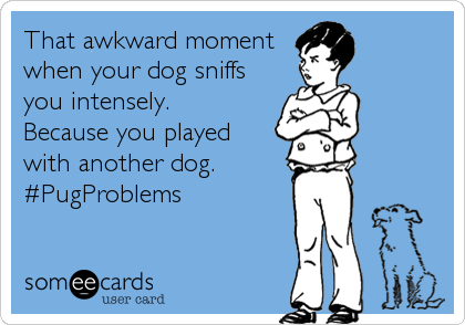 That awkward moment when your dog sniffs you intensely. Because you played with another dog. #PugProblems