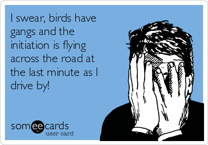 I swear, birds have gangs and the initiation is flying across the road at the last minute as I drive by!
