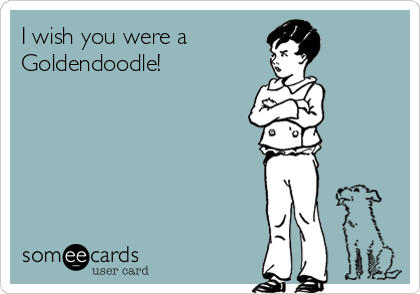 I wish you were a  Goldendoodle!