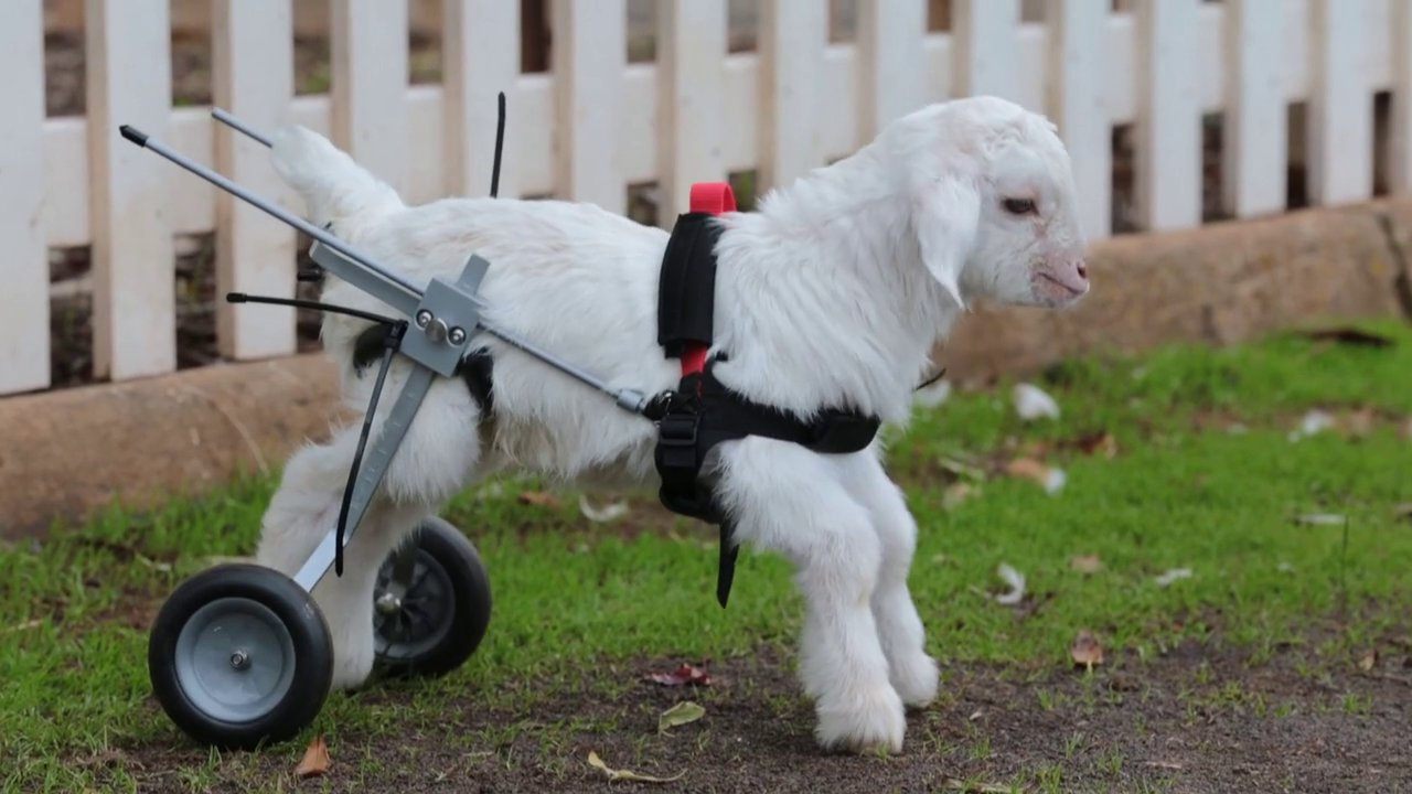P Goat Names Cutest crippled goat of all